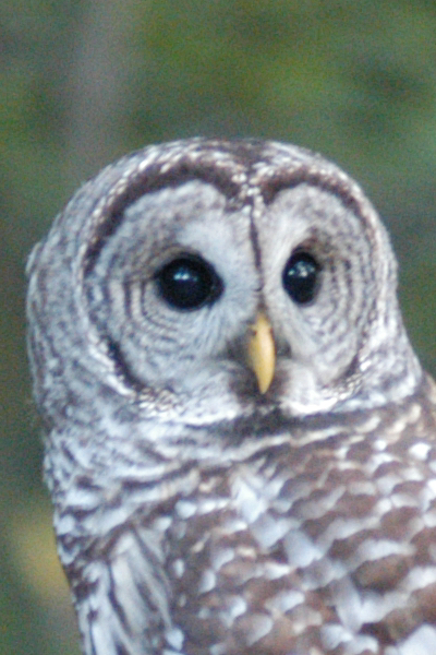 LOOK AT THIS KAWAII AS FRINK BARRED OWL ~ SO CUTE (Can you tell who got back into